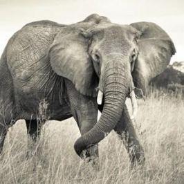 Фотообои National Geographic Elephant (3,68х2,48 м)